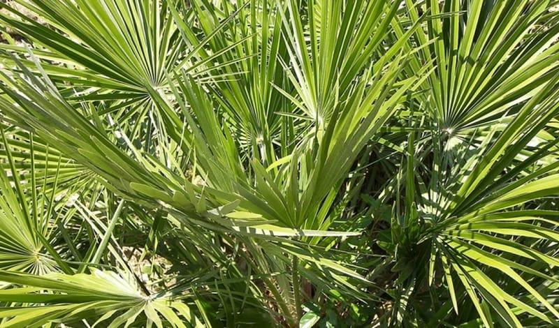 Картинки по запросу фото пальмы сабаль